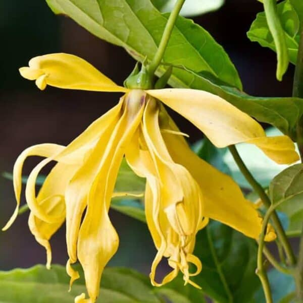 why ylang ylang essential oil